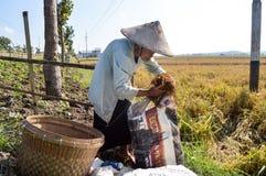收集稻的资深女性农夫 库存图片