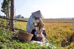 收集稻的资深女性农夫 免版税图库摄影