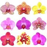收集花兰花phalenopsis 库存照片