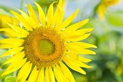 收集花粉向日葵工作的蜂 库存图片