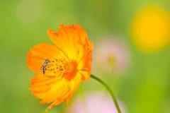 收集花粉向日葵工作的蜂 免版税图库摄影
