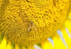 收集花粉向日葵的蜂 免版税库存照片