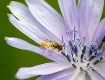 收集花粉宏指令图象的蜂 免版税库存图片