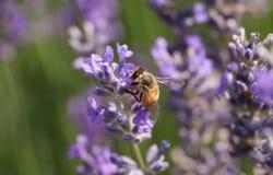 收集花粉的一繁忙的蜂蜜蜂Apis mellifera从淡紫色花 免版税图库摄影