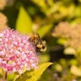 收集花粉的三颜色土蜂 库存图片