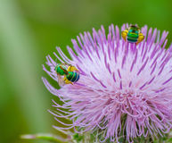 收集花粉的两只绿色蜂 库存照片