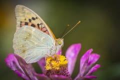 收集花粉的五颜六色的蝴蝶从花 库存照片