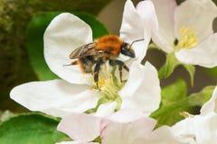 收集花粉的土蜂从苹果树花在春天 免版税图库摄影