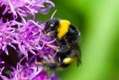 收集花粉的土蜂 免版税库存照片