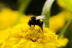 收集花粉的土蜂 图库摄影