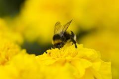 收集花粉的土蜂 免版税库存图片