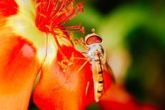 收集花粉的小的蜂从一朵红色花在庭院里 免版税库存图片