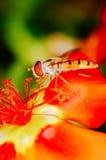 收集花粉的小的蜂从一朵红色花在庭院里 免版税库存照片