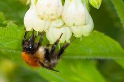 收集花粉的工蜂在夏天 免版税库存照片