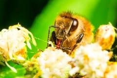 收集花粉的收割机 库存图片