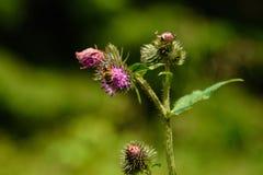 收集花粉的蜂从紫罗兰色朝鲜蓟蓟花 免版税库存图片