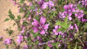 收集花粉的蜂从紫色花 股票视频