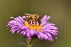 收集花粉的蜂从紫色花 免版税图库摄影