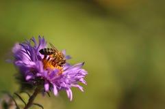 收集花粉的蜂从紫色花 免版税库存照片