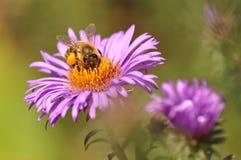 收集花粉的蜂从紫色花 免版税库存图片