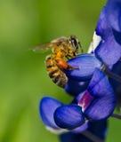 收集花粉的蜂矢车菊 免版税库存图片
