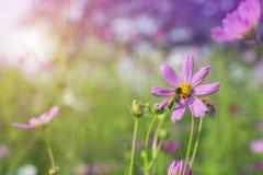 收集花粉的蜂蜜蜂从美丽的桃红色或紫色波斯菊波斯菊Bipinnatus花在软的焦点在有blurre的公园 库存照片