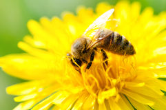 收集花粉的蜂蜜蜂的特写镜头从一朵黄色花 图库摄影