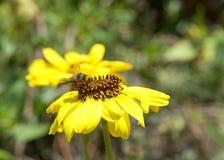 收集花粉的蜂蜜蜂从黑眼睛的苏珊花 免版税库存照片