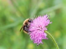 在桃红色花的蜂 免版税库存图片