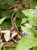 收集花粉的蜂从在一棵绿色叶子植物的一朵蓝色花 免版税库存图片
