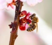 收集花粉的蜂从杏子开花 免版税库存图片