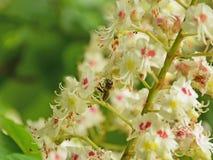 收集花粉的蜂从栗子开花 免版税库存照片