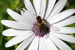收集花粉的蜂从花。 免版税库存图片