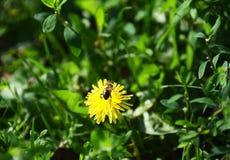收集花粉的蜂从花 免版税库存图片
