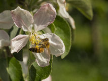 收集花粉的蜂从苹果树花  库存图片