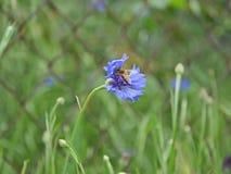 收集花粉的蜂从蓝色矢车菊在雨以后 免版税图库摄影