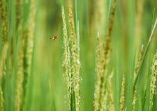 收集花粉的蜂 库存图片