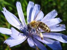 收集花粉的蜂 免版税图库摄影