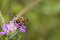 收集花粉的蜂 库存照片