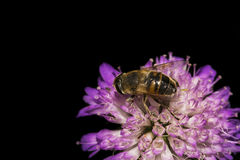 收集花粉的蜂 免版税库存图片