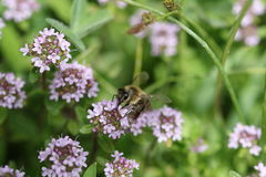 收集花粉的蜂 免版税库存照片
