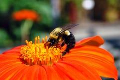 收集花粉的蜂 图库摄影