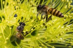 收集花粉的飞行蜜蜂在黄色花 库存照片