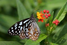 收集花粉的蝴蝶从一棵小植物 免版税库存照片