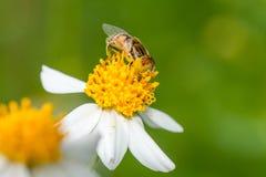 收集花粉的syrphid飞行 库存照片