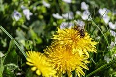 收集花蜂蜜的蜂 免版税库存照片