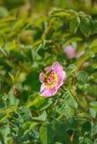 收集花蜜和授粉狂放的桃红色Nootka罗斯,罗莎nutkana,花灌木,不列颠哥伦比亚省,加拿大的蜜蜂 库存照片