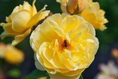 收集花蜜和花粉的蜂从黄色罗斯 库存照片