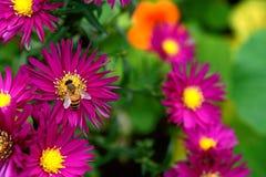 收集花蜜和花粉的蜜蜂从Michaelmas雏菊 免版税库存照片
