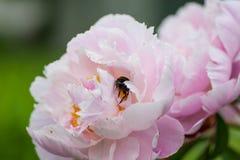 收集花蜜的大模糊的土蜂从牡丹开花 免版税库存图片